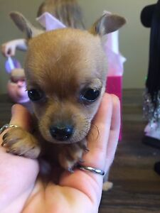 ONLY 1 female left!!Purebred CHIHUAHUA PUPPIES!