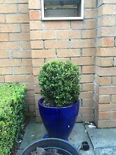 """Buxus Macrophylla ball """"topiary"""" Darling Point Eastern Suburbs Preview"""