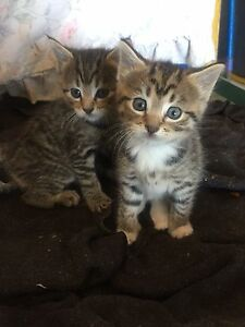 2 Female kittens West Melbourne Melbourne City Preview