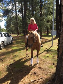 Palomino Quarter Horse Mare  Albany 6330 Albany Area Preview