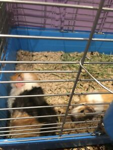 Two female Guinea pigs looking for a home