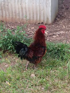 Frizzle roosters for sale Greater Taree Area Preview