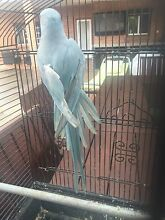 Blue Indian Ring Neck Parrot Campsie Canterbury Area Preview