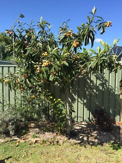 Mature Loquat Tree and plants  Rossmoyne Canning Area Preview