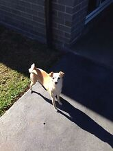 Amy - Free dog to good home Smeaton Grange Camden Area Preview