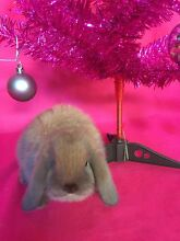 ♥♥ Purebred Mini Lops Baby Rabbits Taking Orders Now For Xmas ♥♥ Londonderry Penrith Area Preview