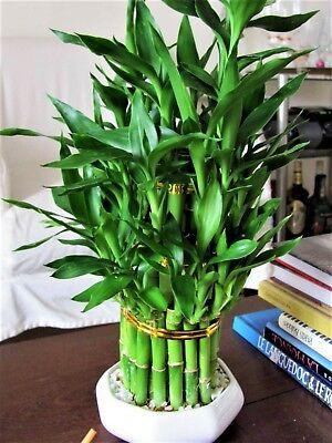 30  Seeds Lucky Bambu Seeds Tree Home Sakura Style Decor Plant Bonsai Pot ()