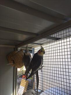 Breeding pair of weiros with nesting box