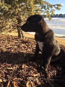 Sheprador Male - Vaccinated -Payment Options