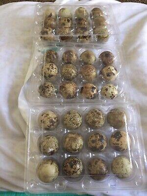 100 Jumbo Brown Coturnix Quail Hatching Eggs Fertil