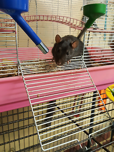 Two rats and cage to good home. Bayswater Bayswater Area Preview