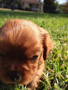 Cavalier King Charles Spaniel Puppys Lethbridge Park Blacktown Area Preview