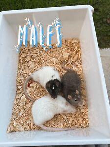 Male PET Rats