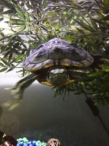Turtle red eared