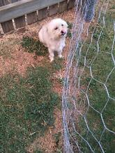 Maltese x Chichuahua Cloncurry Central West Area Preview