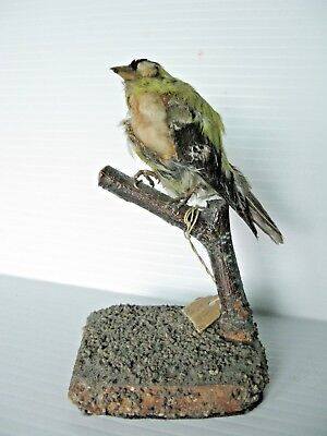 American Goldfinch Taxidemied Bird -As is / Repair