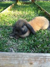 Missing Rabbit Greenacre Bankstown Area Preview