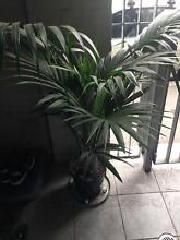 Palms and monstera Sapphire Inverell Area Preview