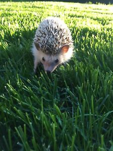 Female 18 month old hedgehog with everything