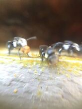 Native stingless honey bees - training course Carbonaria Avalon Pittwater Area Preview