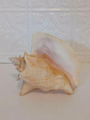 "Queen Conch Shell Natural Sea Beach Nautical Decor ~ 7""x7""  No Hole"