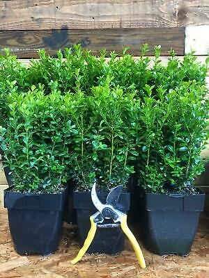 10X EXTRA LARGE BUXUS BOX HEDGING PLANTS EVERGREEN - VERY BUSHY 30cm IN 2L POTS