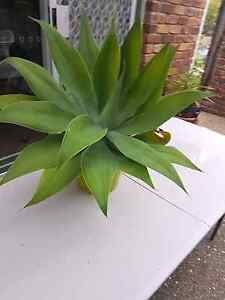 Agave plants Kelvin Grove Brisbane North West Preview