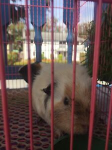 2 Guinea Pigs for + cage and supplies for sale