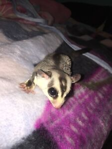 Male sugar glider with cage