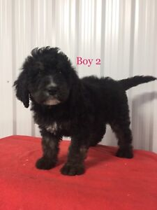 Beautiful F1 Standard Bernedoodle Puppies     REDUCED