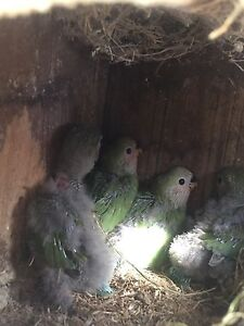 Baby peach face( Lovebirds )for sales Hebersham Blacktown Area Preview