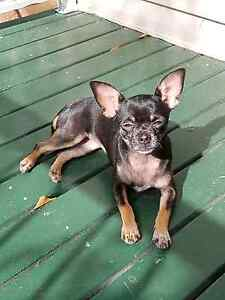 MISSING chihuahua Boronia Heights Logan Area Preview