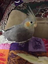 Beautiful Hand Raised Baby Cockatiels – For Sale Today Nundah Brisbane North East Preview