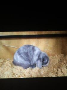 Mini lop rabbits Clunes Hepburn Area Preview