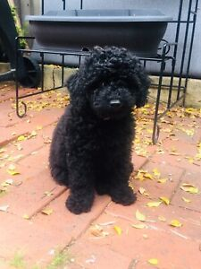 Cavoodle puppy - black male, full of love to give