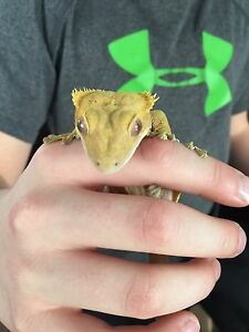 Very Friendly Crested Gecko!