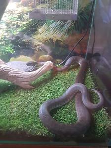 6yo Children's python and set up Evanston Gardens Gawler Area Preview