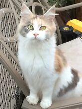 BLUE TORTIE AND WHITE RETIRED MAINE COON FEMALE Pleasure Point Liverpool Area Preview