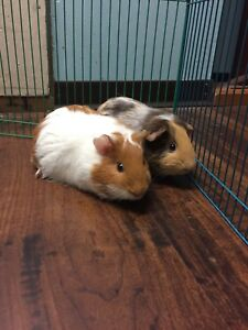 Two guinea pigs and cage for sale