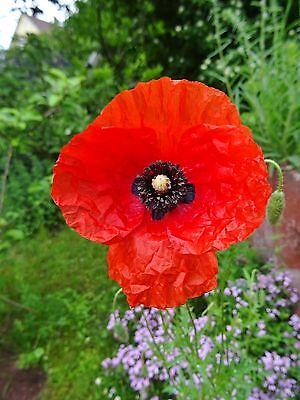 Garten, Wildblumen (Papaver rhoeas KLATSCHMOHN über 250 Samen Wildblume Bauerngarten)