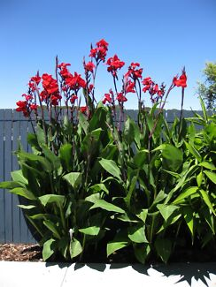 CANNA LILY - RED  -  TALL & FAST GROWING. $7.50 or $6.00