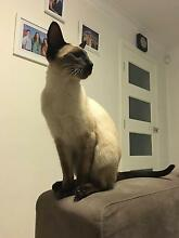 Purebred Seal Point Siamese kittens for sale Brisbane City Brisbane North West Preview
