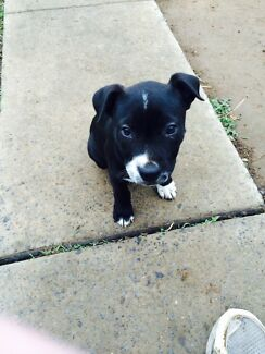 American Staffy X Cartwright Liverpool Area Preview