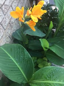 Tall and short cannas - different colour flowers