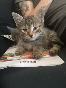 Free Kitten Lethbridge Park Blacktown Area Preview
