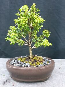 Bonsai, small Kingsville Buxus