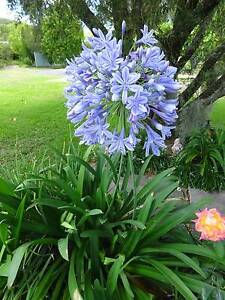 AGAPANTHUS PLANTS Newcastle Newcastle Area Preview
