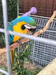 Blue and gold  macaw Riverwood Canterbury Area Preview
