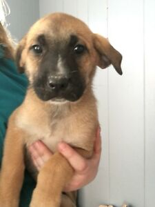 Bullmastiff German Shepherd Mix