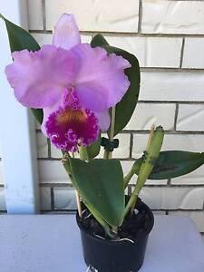Orchid Blc Dream Trader 'Liz' Golden Beach Caloundra Area Preview